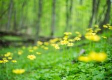 Flores amarelas selvagens no fundo borrado fotos de stock royalty free