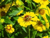 Flores amarelas sneezeweed ou do autumnale comum do Helenium com close-up da abelha no canteiro de flores, foco seletivo, DOF ras imagem de stock royalty free