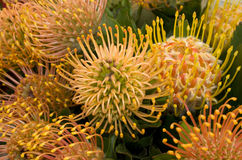 Flores amarelas tropicais Imagens de Stock