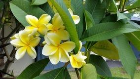 Flores amarelas tropicais bonitas do Frangipani na árvore Foto de Stock Royalty Free