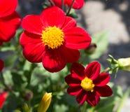 Flores amarelas vermelhas Fotografia de Stock