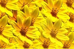Flores amarillas. Fotos de archivo libres de regalías
