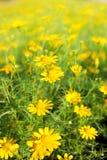 Flores amarillas. Foto de archivo
