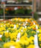 Flores amarillas Fotografía de archivo libre de regalías