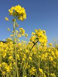 Flores amarillas Imagen de archivo