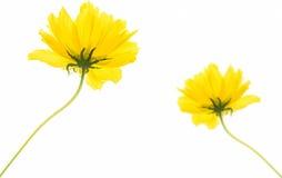 Flores amarillas aisladas Imagen de archivo