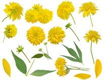 Flores amarillas aisladas en el fondo blanco Rudbeckia Fotos de archivo libres de regalías