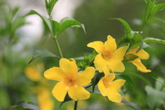 Flores amarillas, allamanda común Fotos de archivo