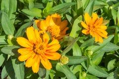 Flores amarillas asombrosas del zinnia en el jardín Foto de archivo