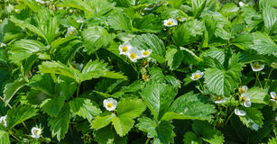 Flores amarillas blancas de la fresa fotografía de archivo