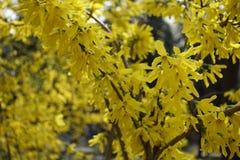 Flores amarillas brillantes de la forsythia en primavera Imagenes de archivo