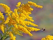 Flores amarillas brillantes de la vara de oro Imágenes de archivo libres de regalías
