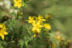 Flores amarillas brillantes de tutsan y una abeja que recoge el polen Foto de archivo