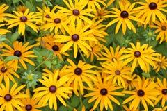 Flores amarillas brillantes del cono de Fulgida del Rudbeckia Imágenes de archivo libres de regalías