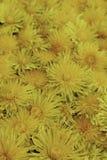 Flores amarillas brillantes del diente de león imagen de archivo