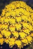 Flores amarillas brillantes del undulatum del Aeonium Foto de archivo libre de regalías