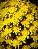 Flores amarillas brillantes del undulatum del Aeonium Fotos de archivo
