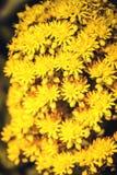 Flores amarillas brillantes del undulatum del Aeonium Fotos de archivo libres de regalías