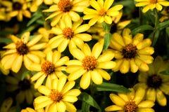 Flores amarillas brillantes en el jardín fotos de archivo libres de regalías