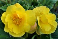 Flores amarillas brillantes en un fondo de hojas verdes, fotos de archivo