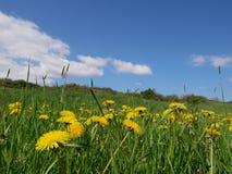 Flores amarillas brillantes frescas del diente de león Fotos de archivo