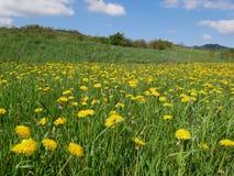 Flores amarillas brillantes frescas del diente de león Foto de archivo libre de regalías