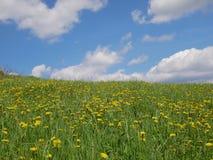 Flores amarillas brillantes frescas del diente de león Imágenes de archivo libres de regalías