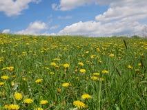Flores amarillas brillantes frescas del diente de león Foto de archivo