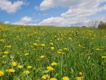 Flores amarillas brillantes frescas del diente de león Imagen de archivo libre de regalías