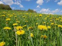 Flores amarillas brillantes frescas del diente de león Imagen de archivo