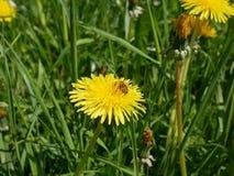 Flores amarillas brillantes frescas del diente de león Imagenes de archivo
