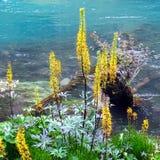 Flores amarillas cerca de un río de la montaña Foto de archivo