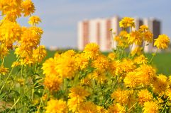 Flores amarillas cerca del edificio Imagen de archivo