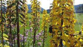 Flores amarillas coloridas majestuosas en sol del verano con el pequeño bumbebee que trabaja difícilmente en la acopio del polen Imagenes de archivo