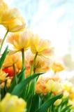 Flores amarillas con el cielo azul Imagen de archivo libre de regalías