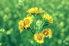 Flores amarillas con el fondo verde Foto de archivo libre de regalías