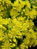 Flores amarillas con el rocío 4k de la lluvia Fotos de archivo libres de regalías