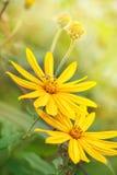 Flores amarillas con la abeja del vuelo Fotografía de archivo libre de regalías