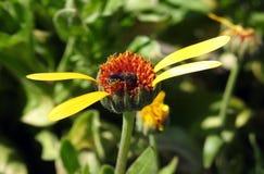 Flores amarillas con la abeja en el prado, Lituania Fotos de archivo libres de regalías