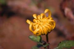 Flores amarillas con la falta de definición del fondo Fotos de archivo