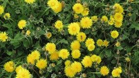 Flores amarillas con las abejas Fotos de archivo libres de regalías