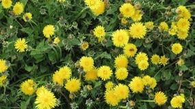 Flores amarillas con las abejas Fotos de archivo