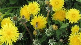 Flores amarillas con las abejas Fotografía de archivo