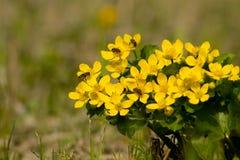Flores amarillas con las abejas en la primavera Imagenes de archivo