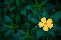 Flores amarillas con las hojas verdes Imagen de archivo