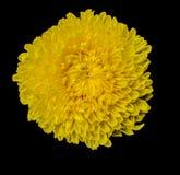 Flores amarillas con los pétalos Imagen de archivo