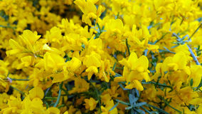 Flores amarillas Corniculatus de Lotus Fotos de archivo