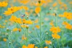 Flores amarillas Cosmos amarillo con las hojas del verde y abeja o insecto en jardín Imagenes de archivo