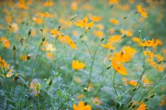 Flores amarillas Cosmos amarillo con las hojas del verde y abeja o insecto en jardín Fotos de archivo libres de regalías