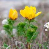 Flores amarillas de Adonis Imágenes de archivo libres de regalías